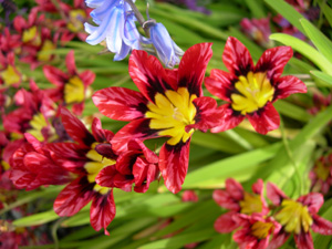 Harlequin Flower_SparaxisTricolor.jpg